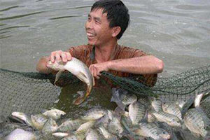 Reasons For The Low Efficiency Of Tilapia Breeding
