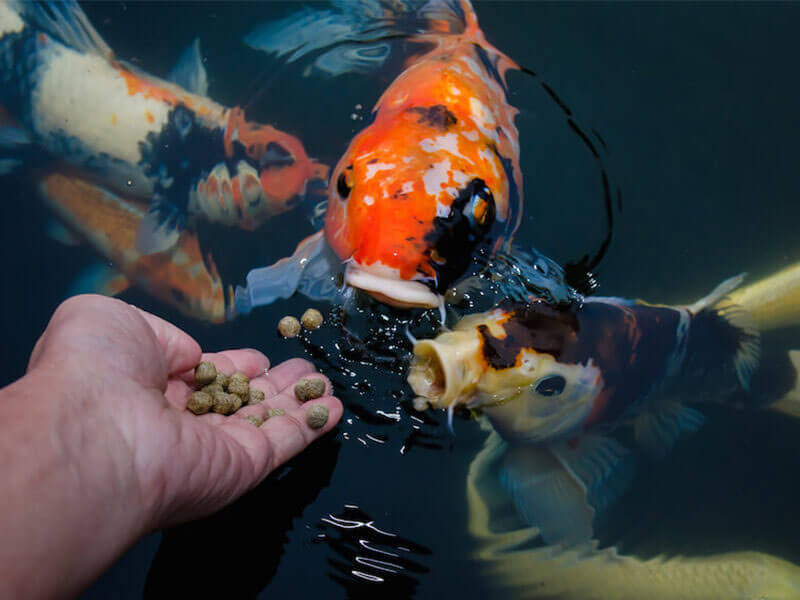 How To Choose Best Fish Feed Pellets For Goldfish
